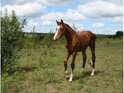 Einsiedeln horse