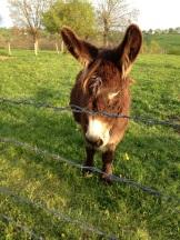 Sissi, donkey